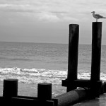 Black & White Of Sea Gull Perched On Beach Piling