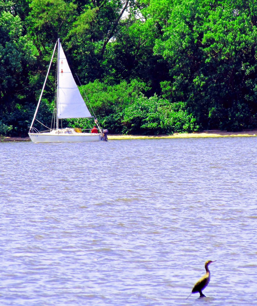 Brown Egret & Sailboat Off National Park NJ Shore