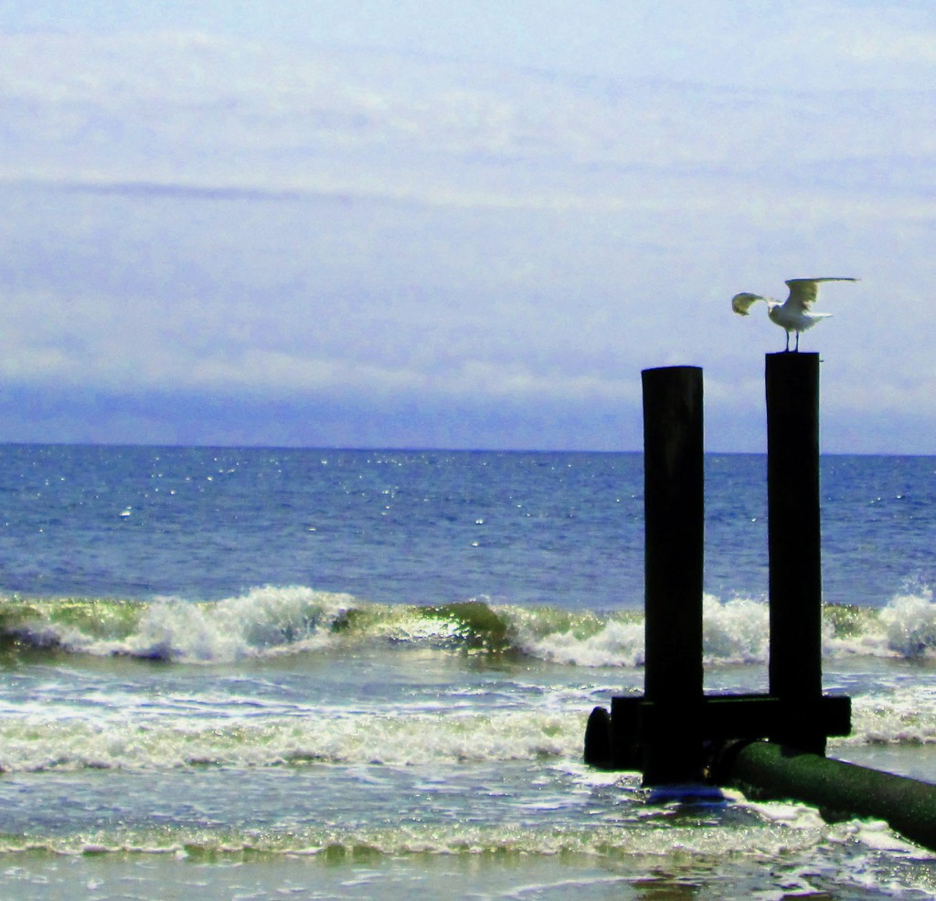 Gull On Storm Water Outlet Pipe Piling