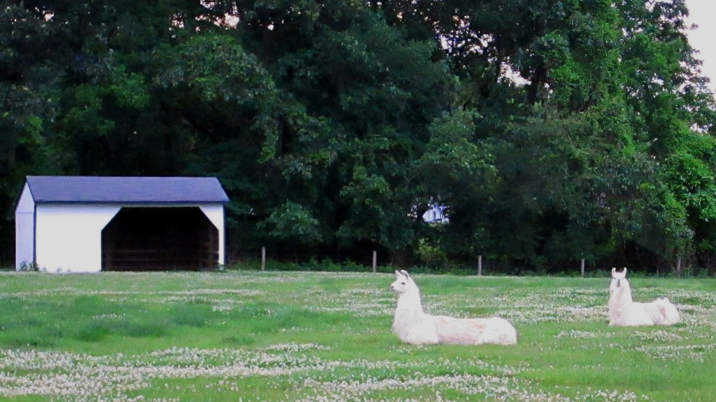 Handsome White Llamas