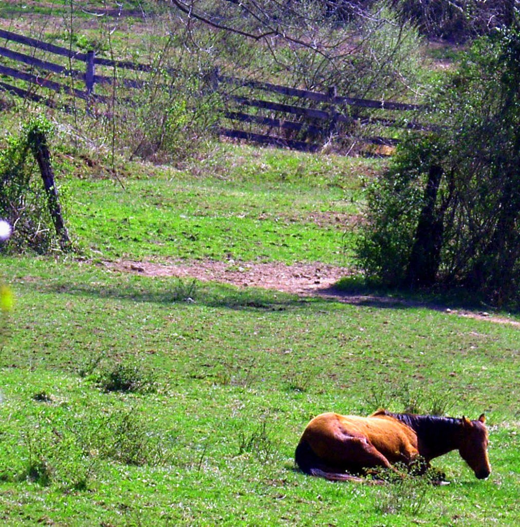 Horse Laying in Early Spring