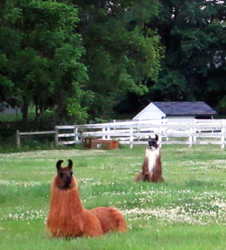 Llama Ranch In South Jersey