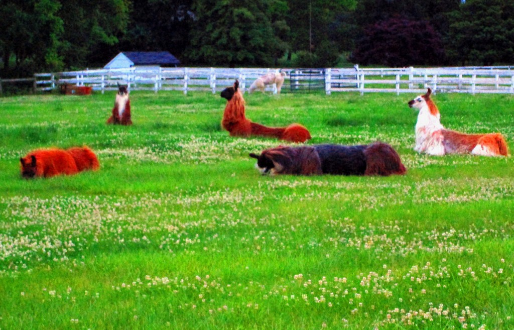 Llamas Out Lounging On The Farm