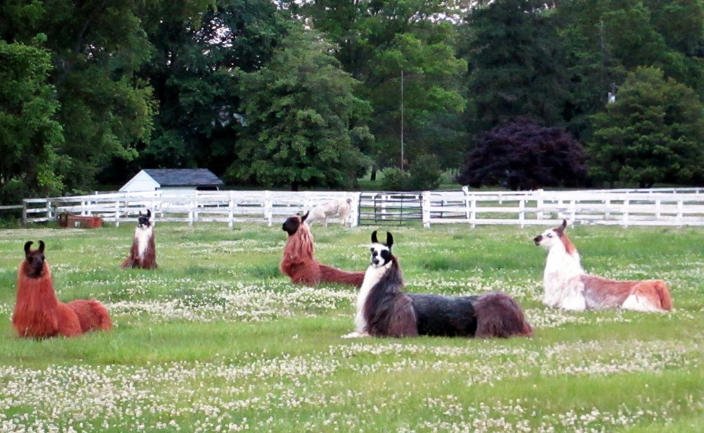 Lounging Llamas In The Late Afternoon