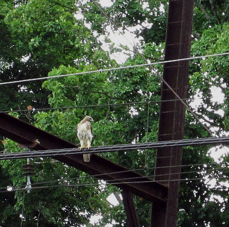 Peregrine Falcon On The Commuter Wire