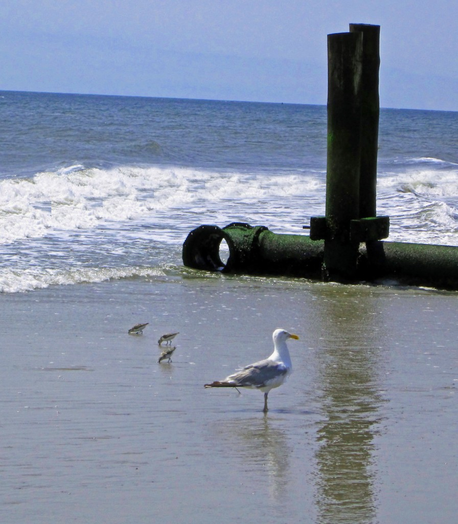 Sandpipers & Gull On Longport NJ Beach
