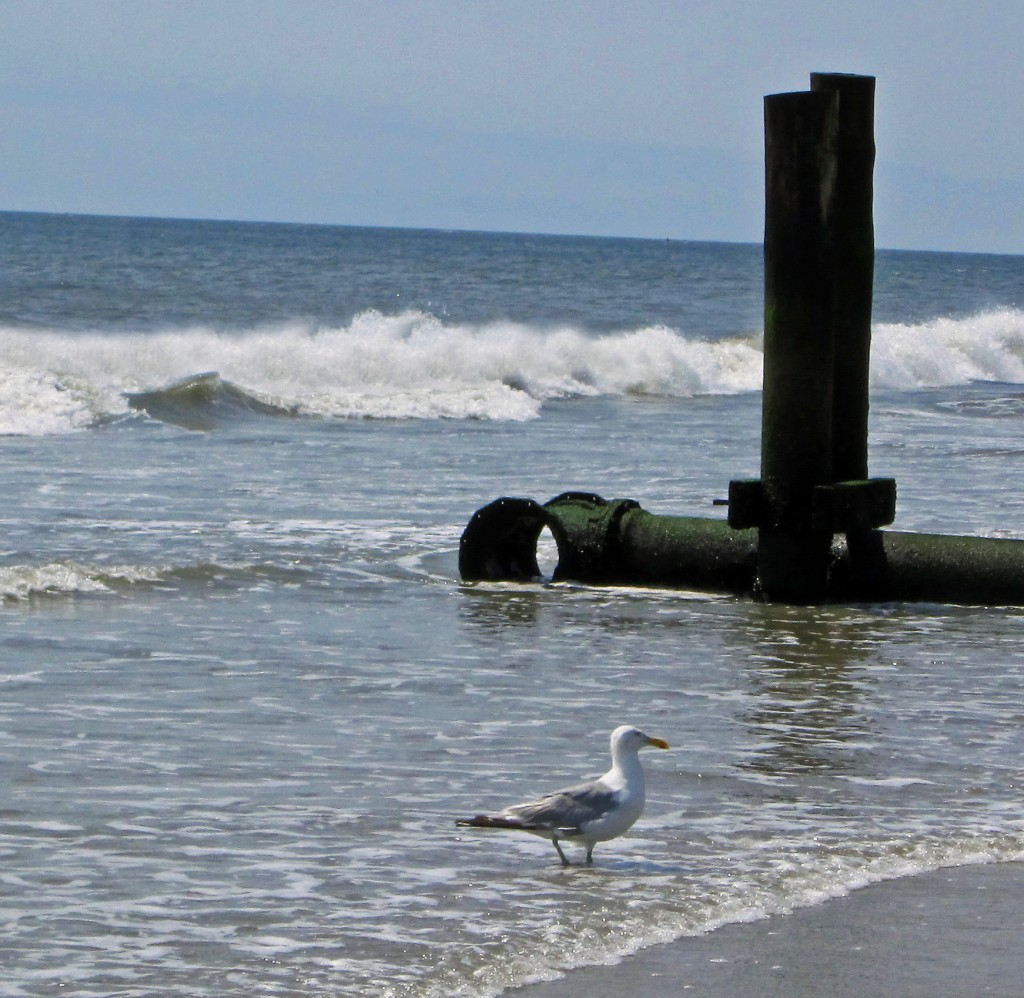 Sea Gull In Surf At Longport New Jersey