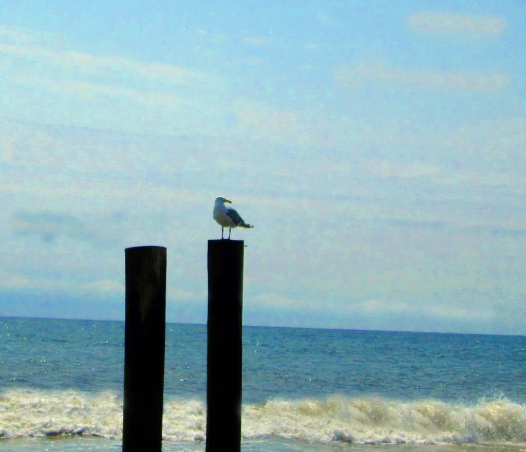 Sea Gull On Wood Piling