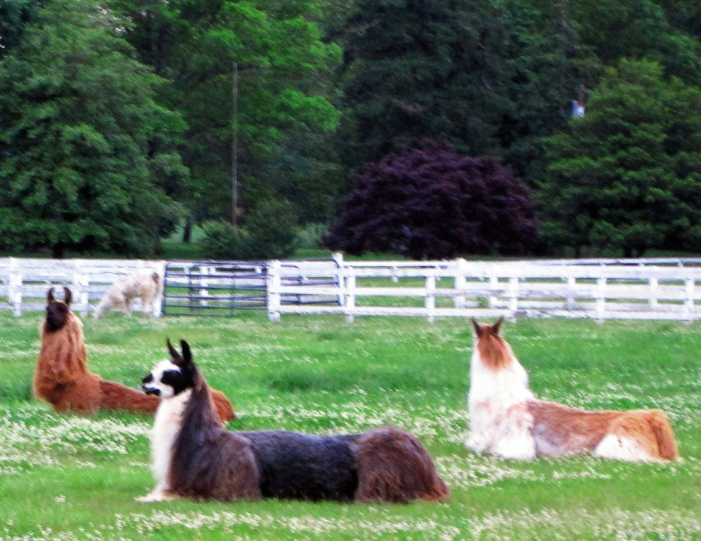 South Jersey Llama Farm