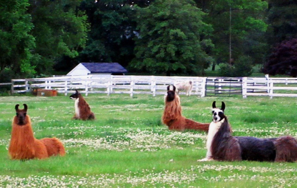 South Jersey Llama Ranch