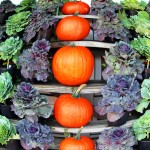 Fish Eye View Of Cabbage Plants & Pumpkins