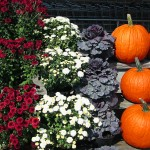 Mini Display Of Fall Flowers Cabbage Plants & Pumpkins