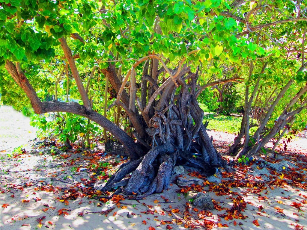 Caribbean Beach Tree