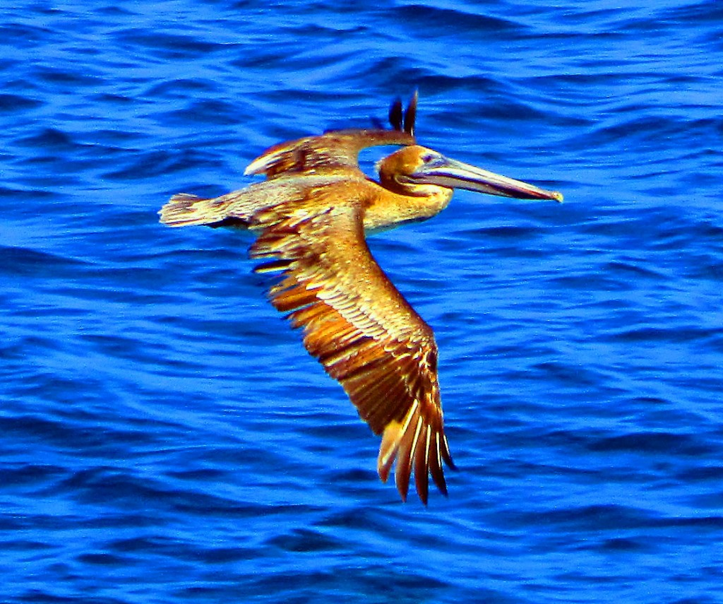 Pelican In Flight Over St Croix Bay
