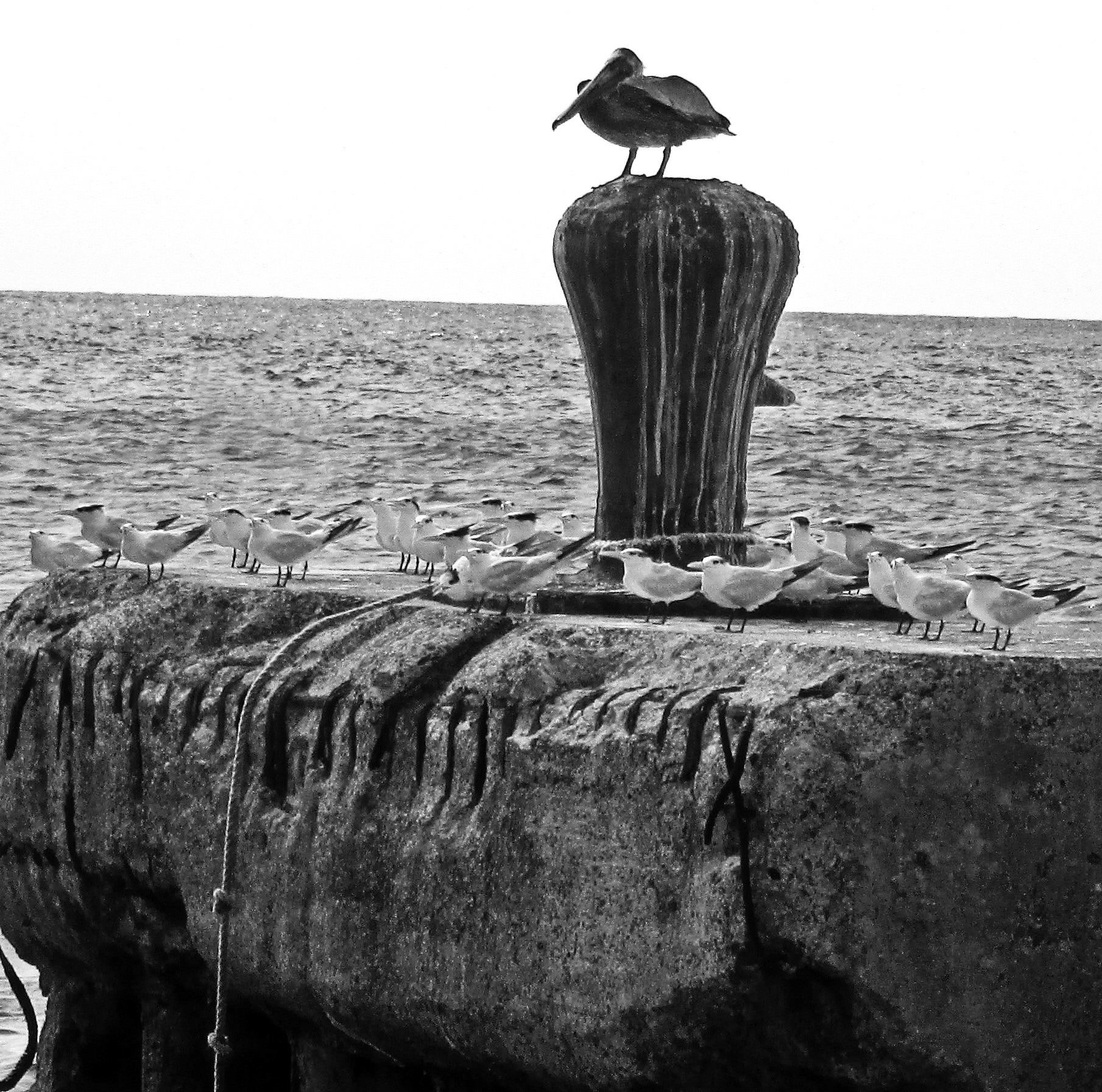 Black & White Of Birds On An Anchor Bay Bollard