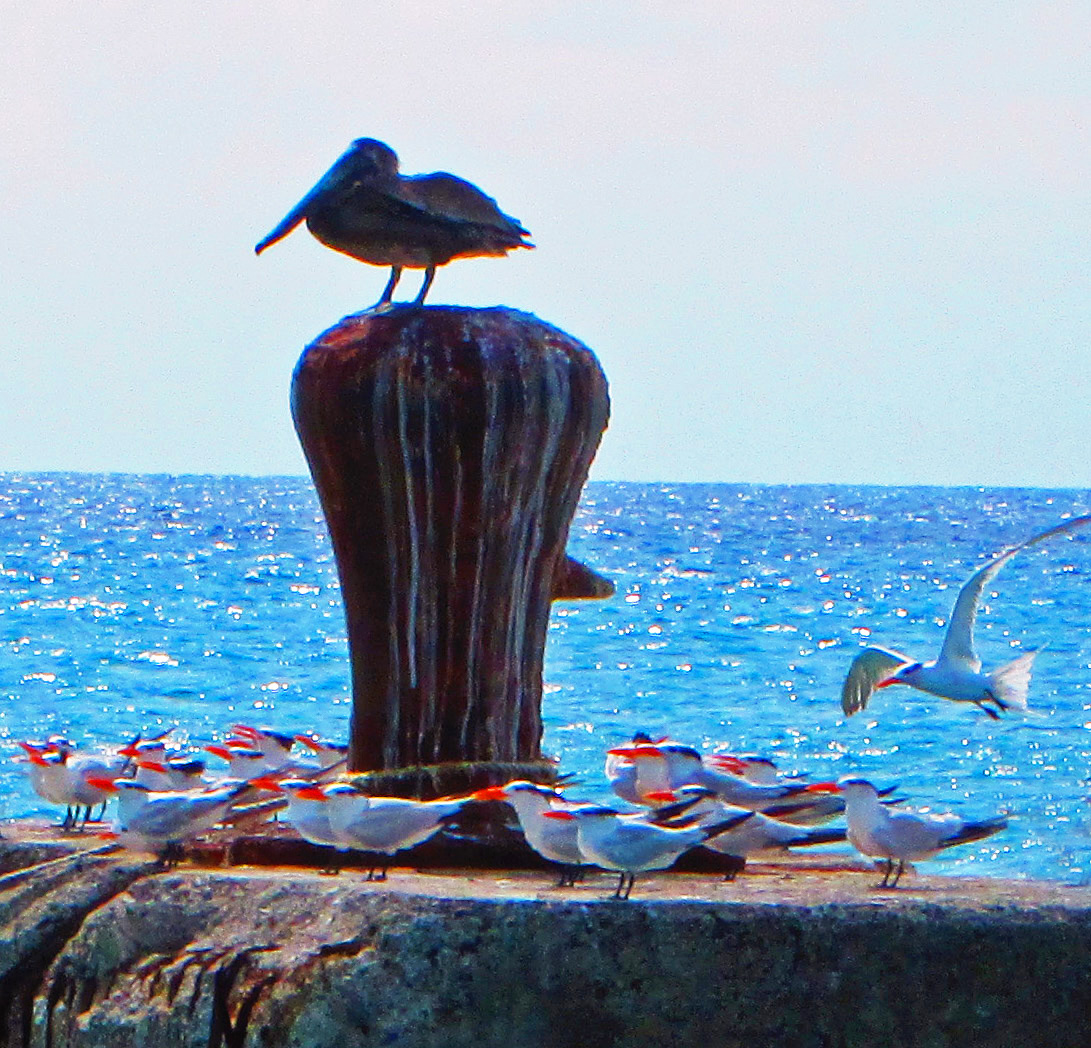 Gull Landing On Maritime Bollard In St Croix VI
