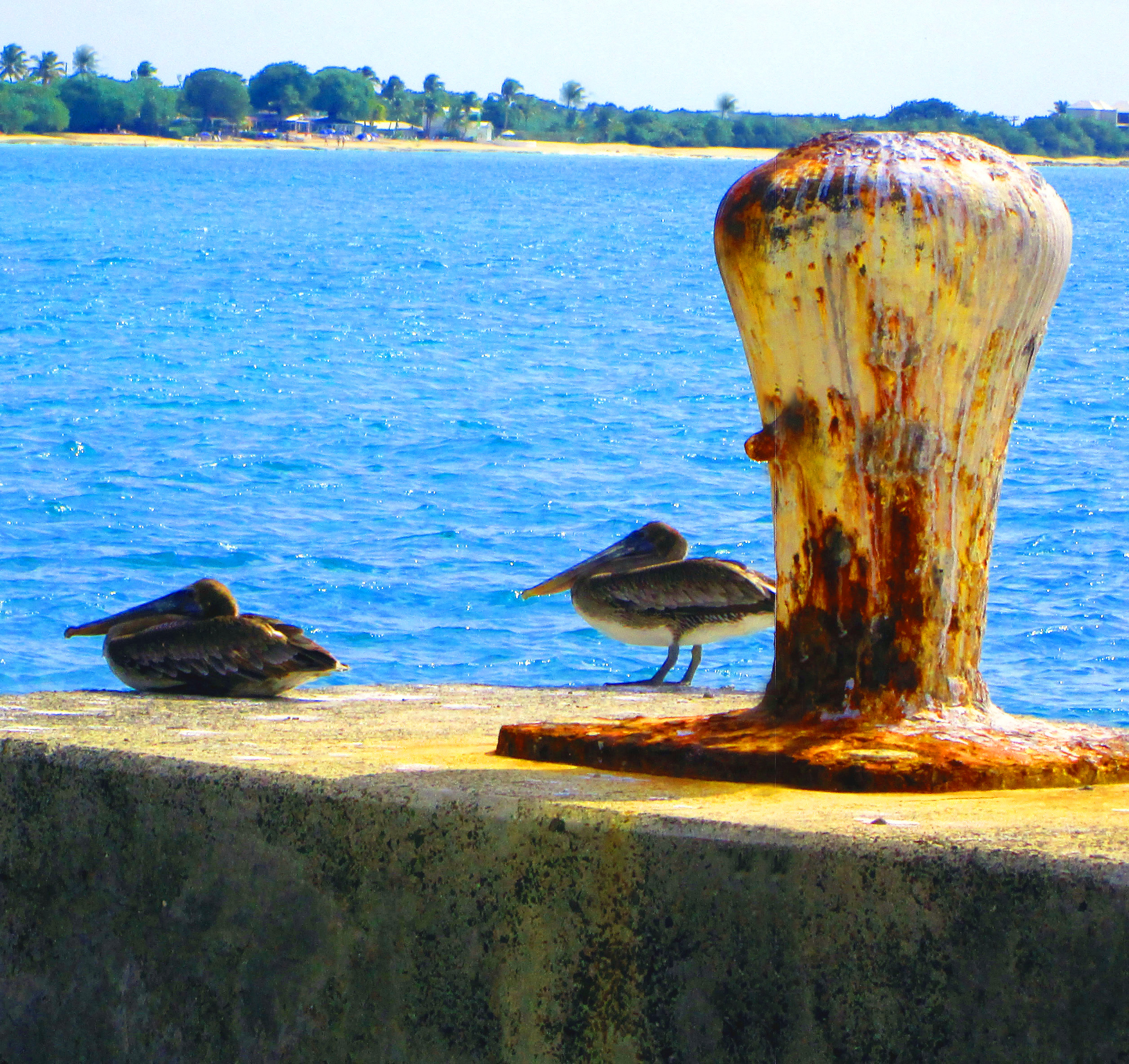 Pair Of Pelicans On Mooring Bollard In St Croix