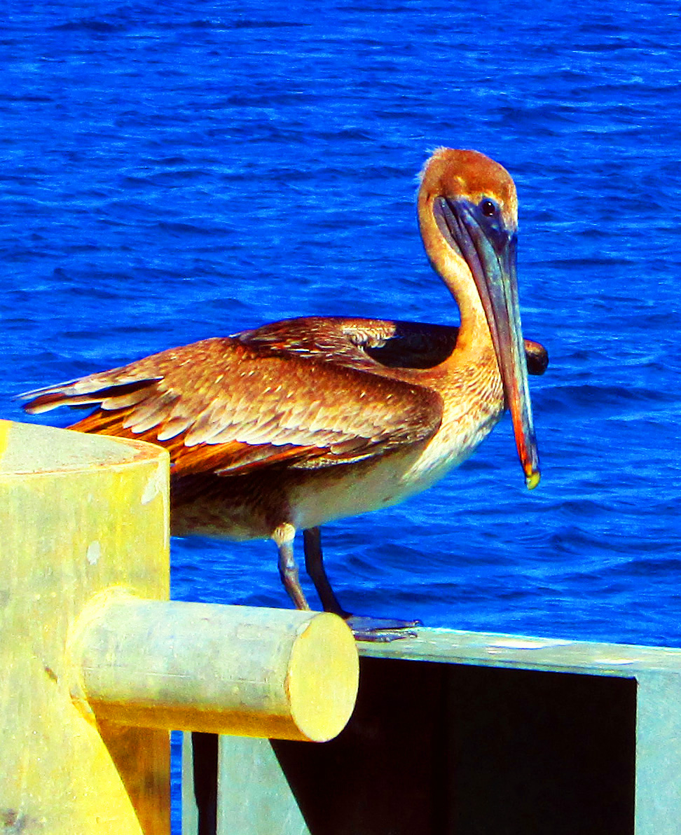 Pelican Perched On Pier In Virgin Islands
