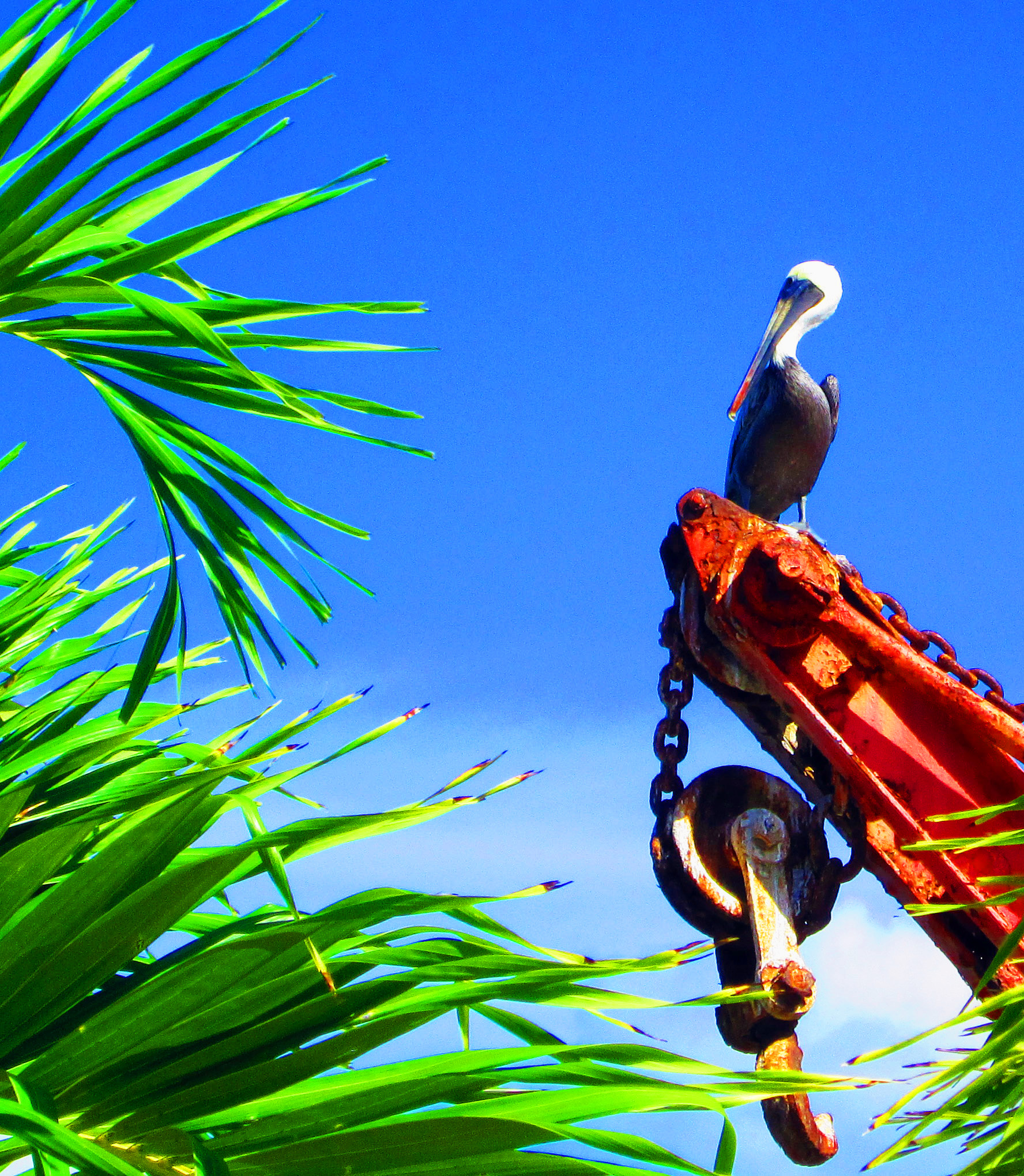 Pelican Resting Among The Palms