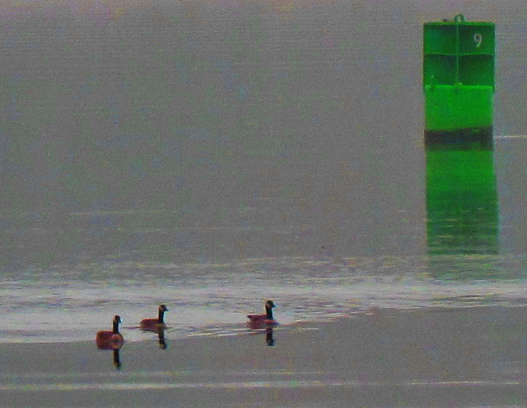 Canadian-Geese-Swimming-Past-Buoy-9