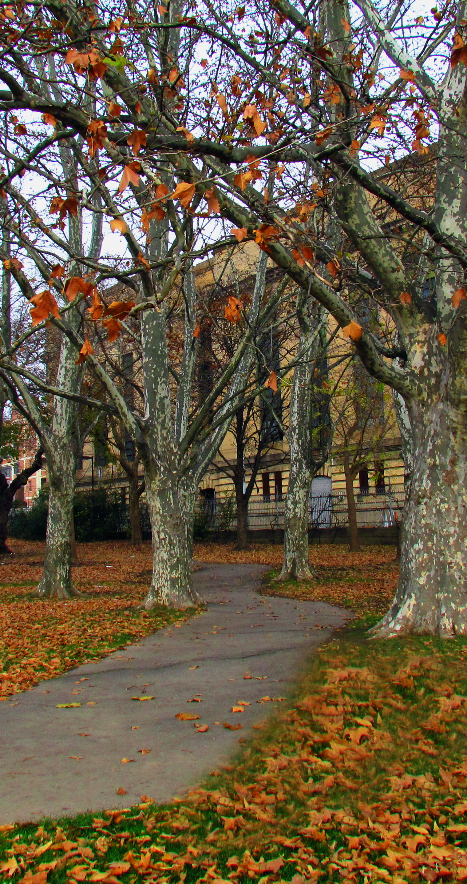 Philly Beech Trees In Fishtown Park
