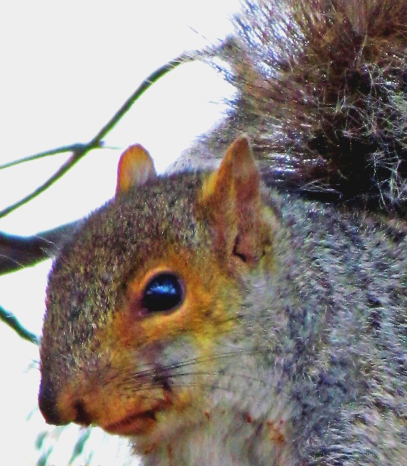 Philly Eastern Gray Squirrel