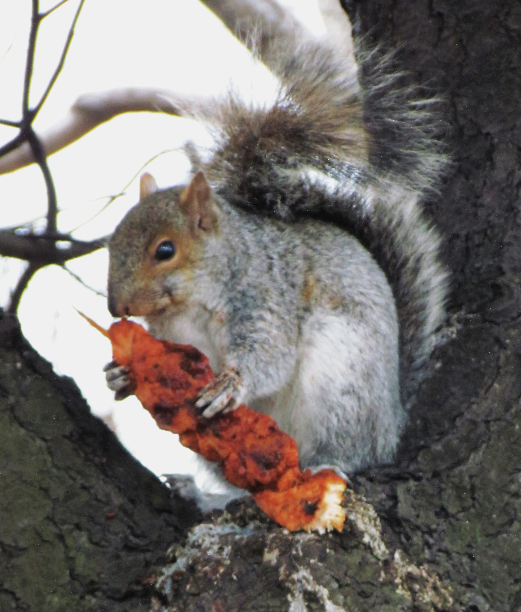 Philly Squirrel Having Sunday Brunch