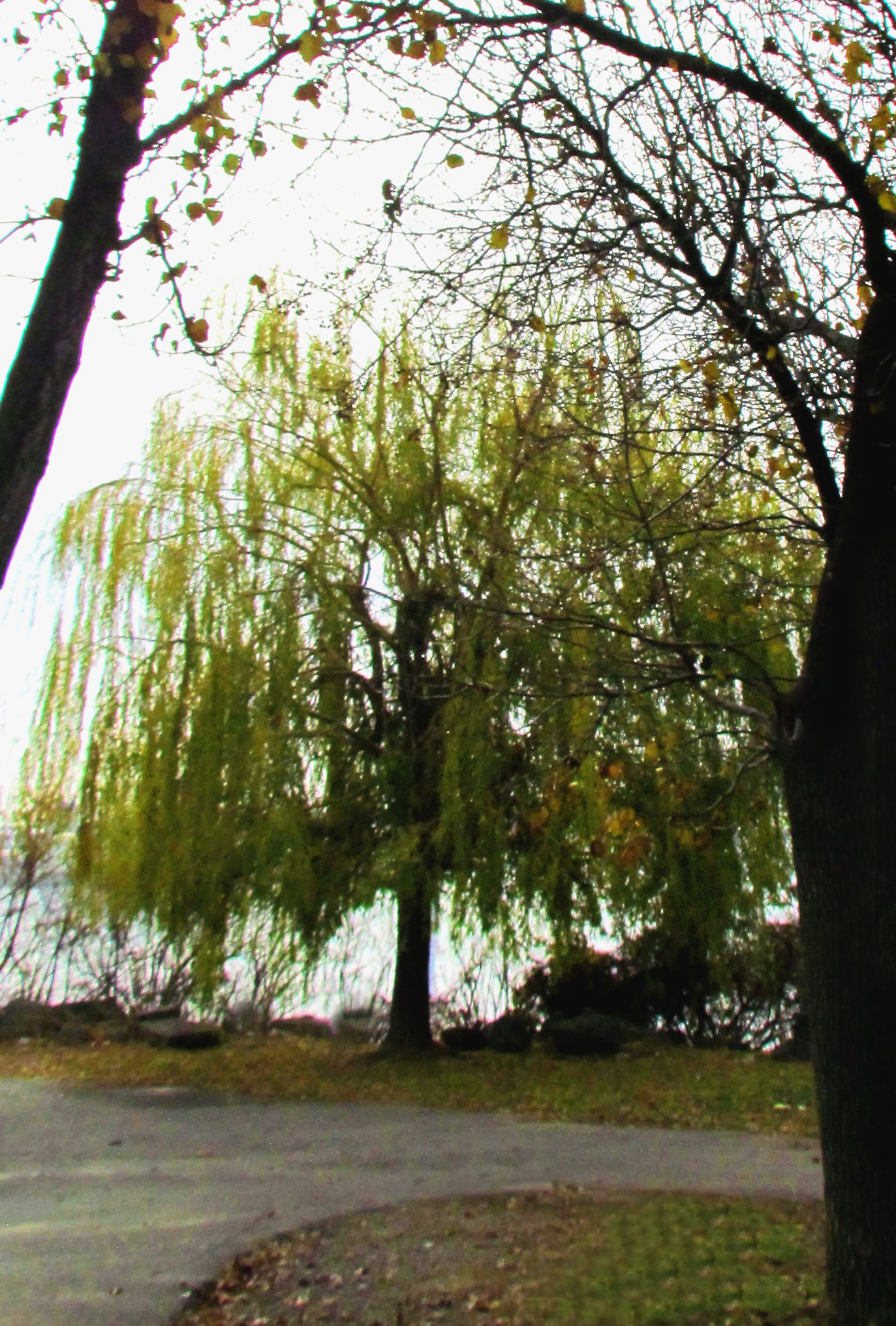 Willow Tree On Southern End Of Penn Treaty Park