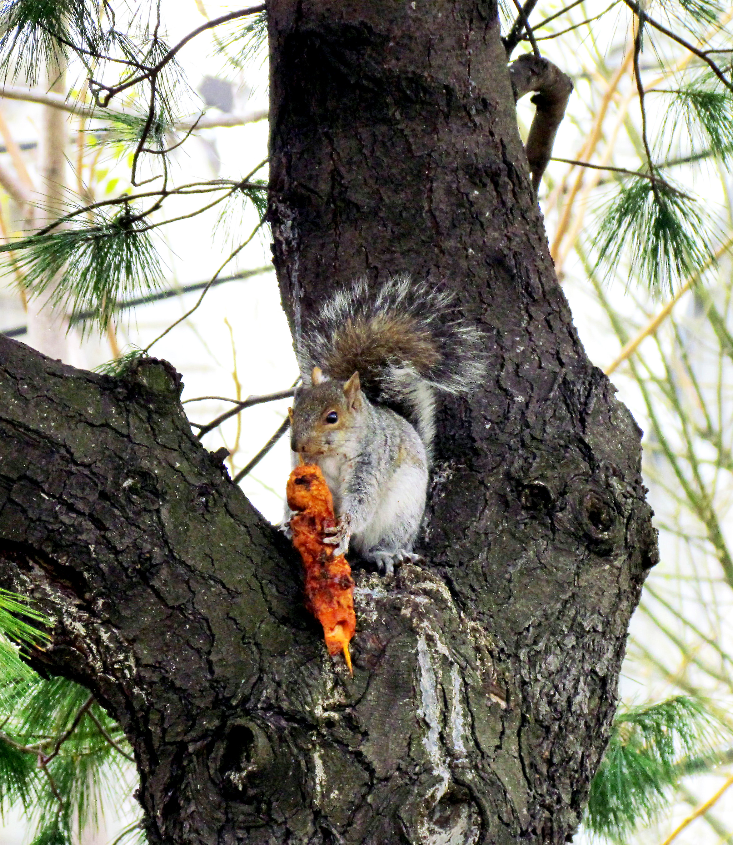 Philly Squirrel Having A Shish Kabob Lunch