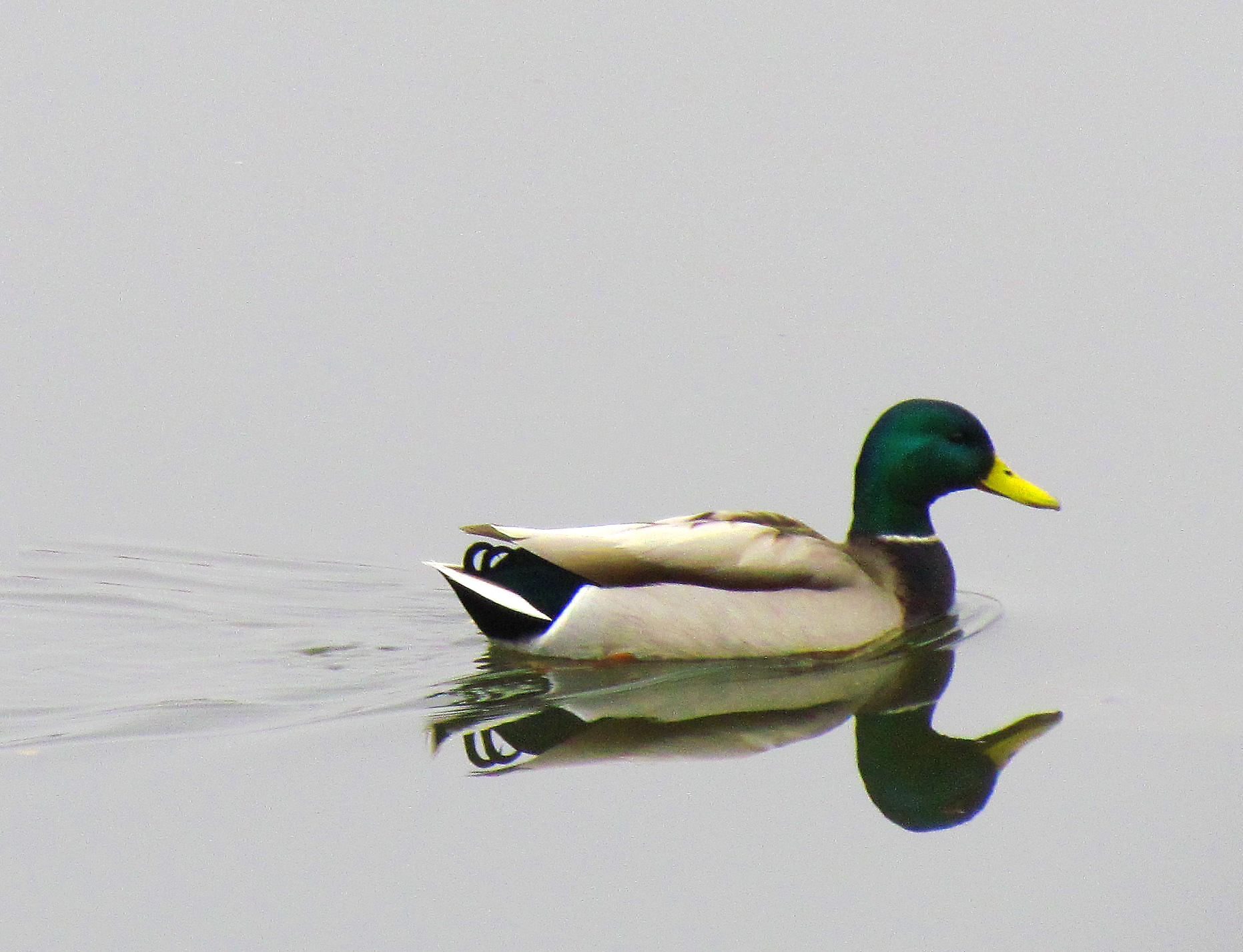 Yellow Bill Mallard