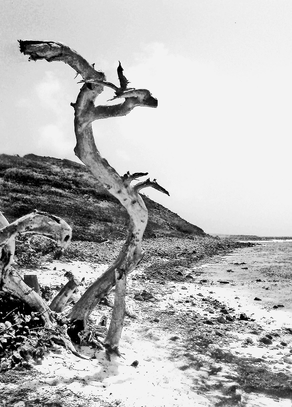 Black & White Dancing Beach Tree