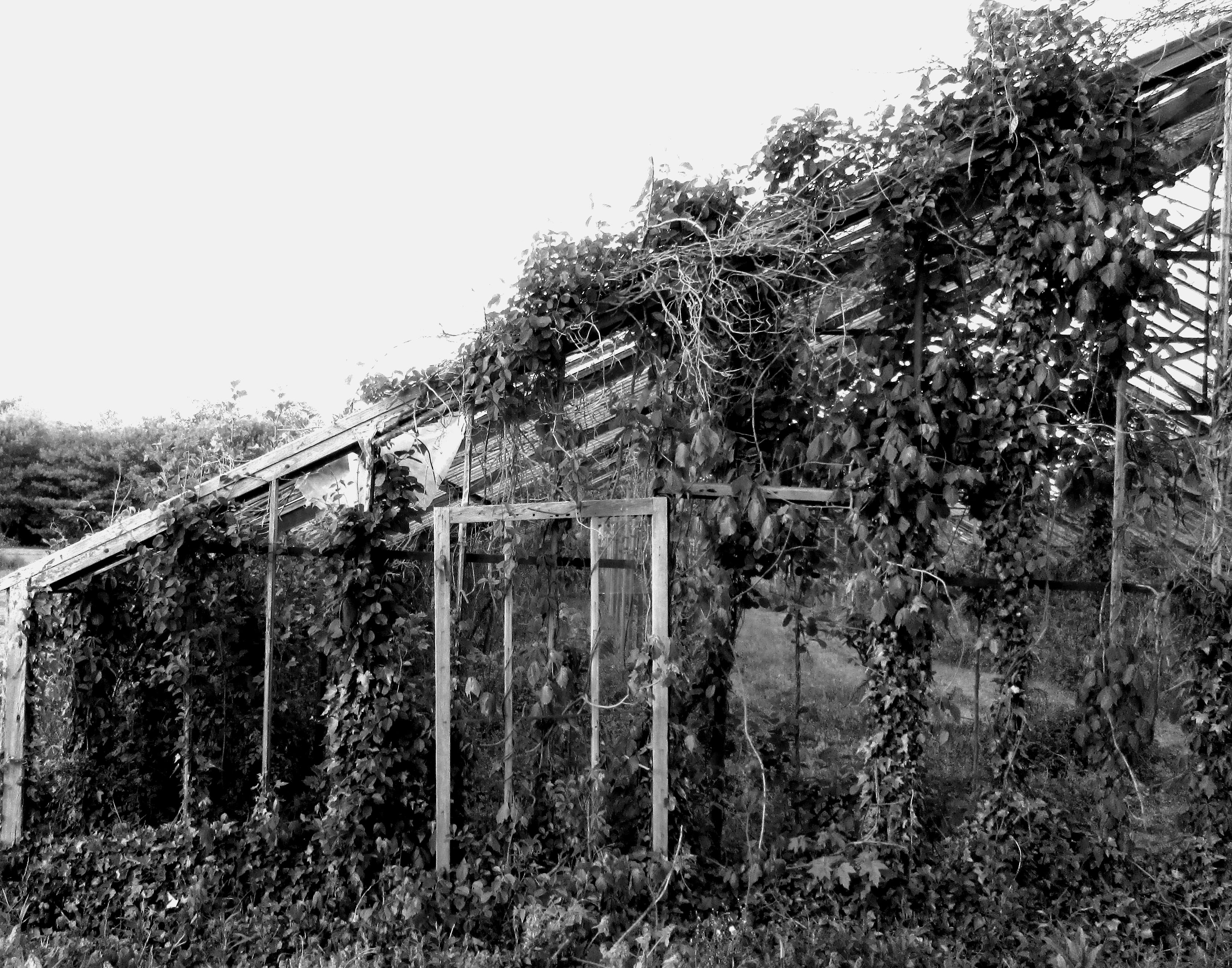 Black & White Of Old Abandoned Jersey Greenhouse