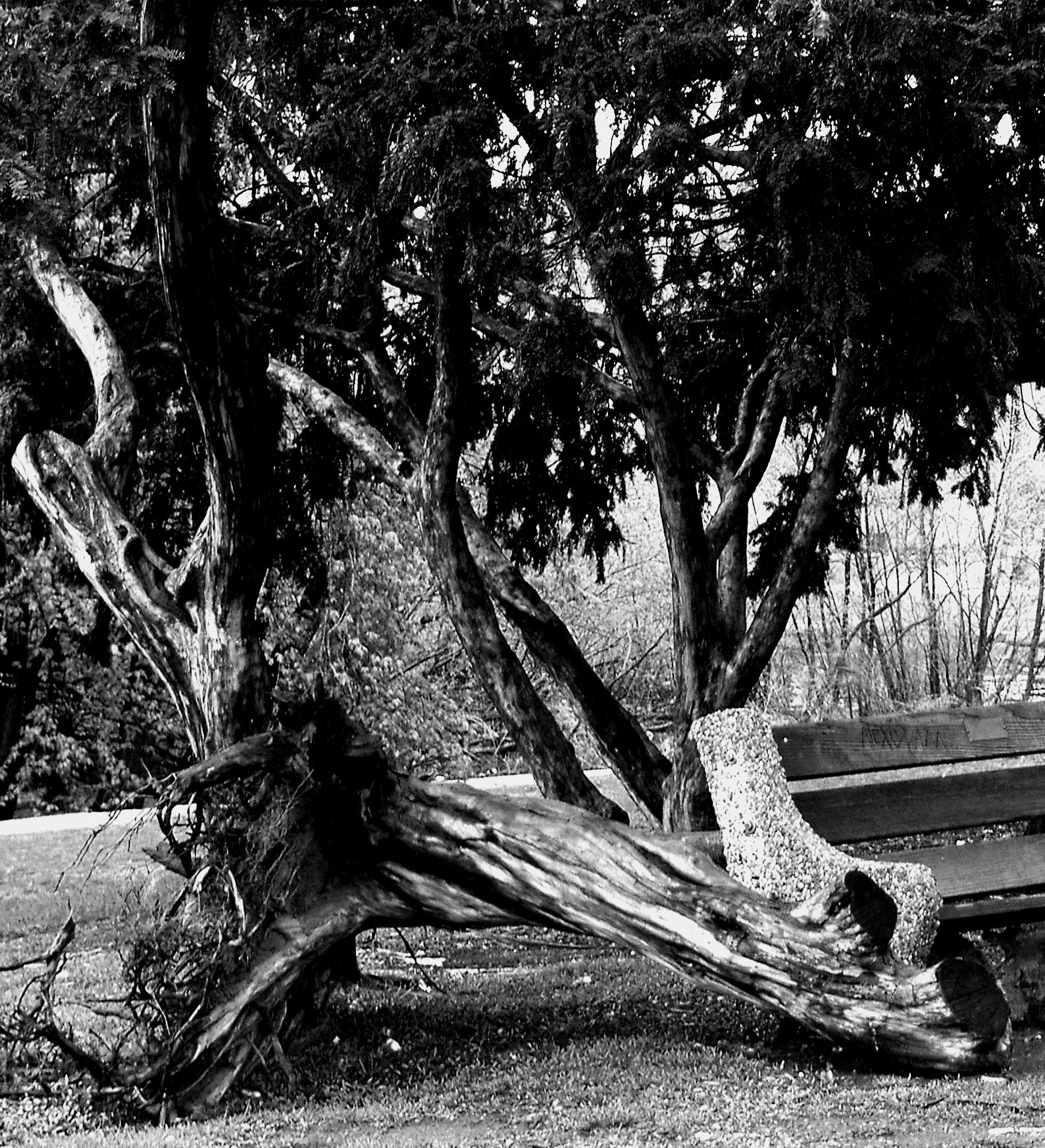 Black & White Storm Damaged Tree In Fairmount Park Philadelphia