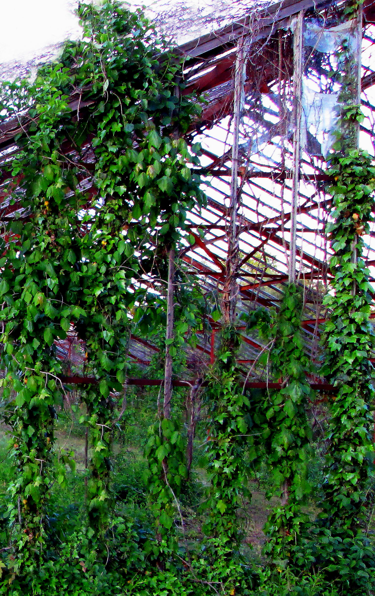 Vine & Weed Covered Old Abandoned Greenhouse