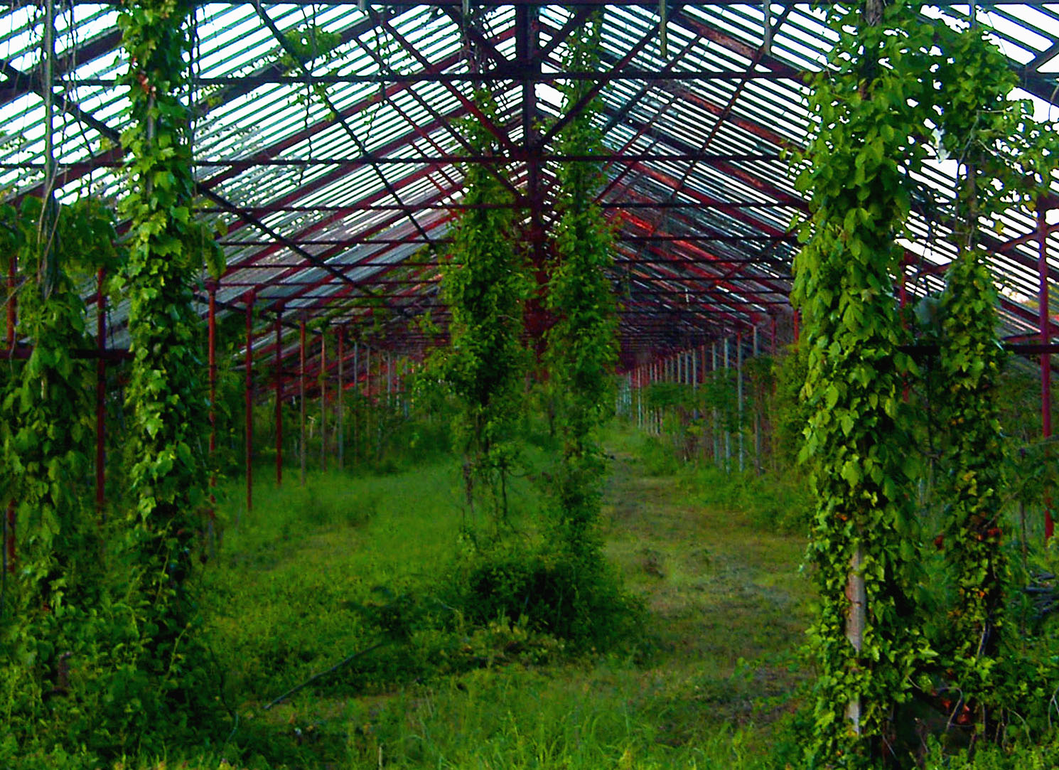 Vine Covered Entrance Of Old Jersey Greenhouse