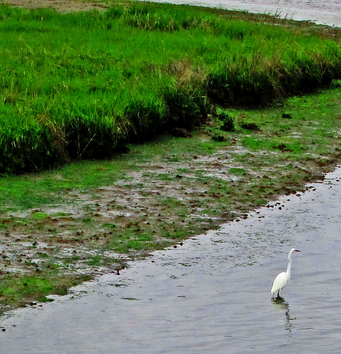 A Snowy Egret Reflecting In Glimmer Glass Bay NJ