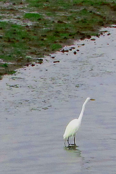 Snowy Egret In Glimmer Glass Bay NJ