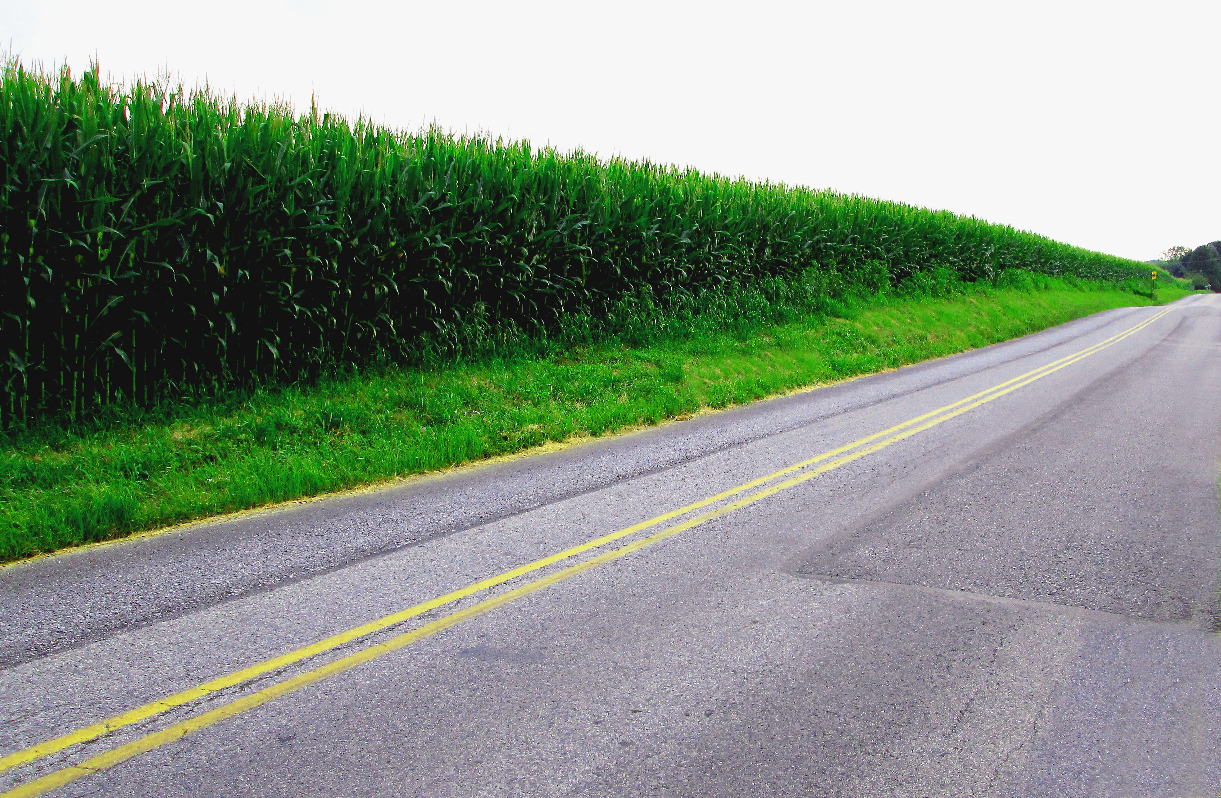 Corn Field Along Line Road