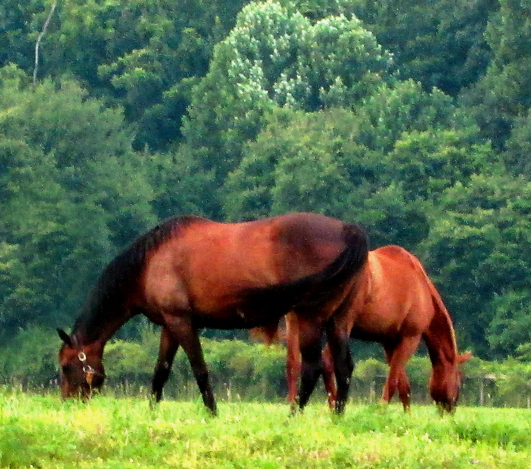 Mares Grazing In Their Field