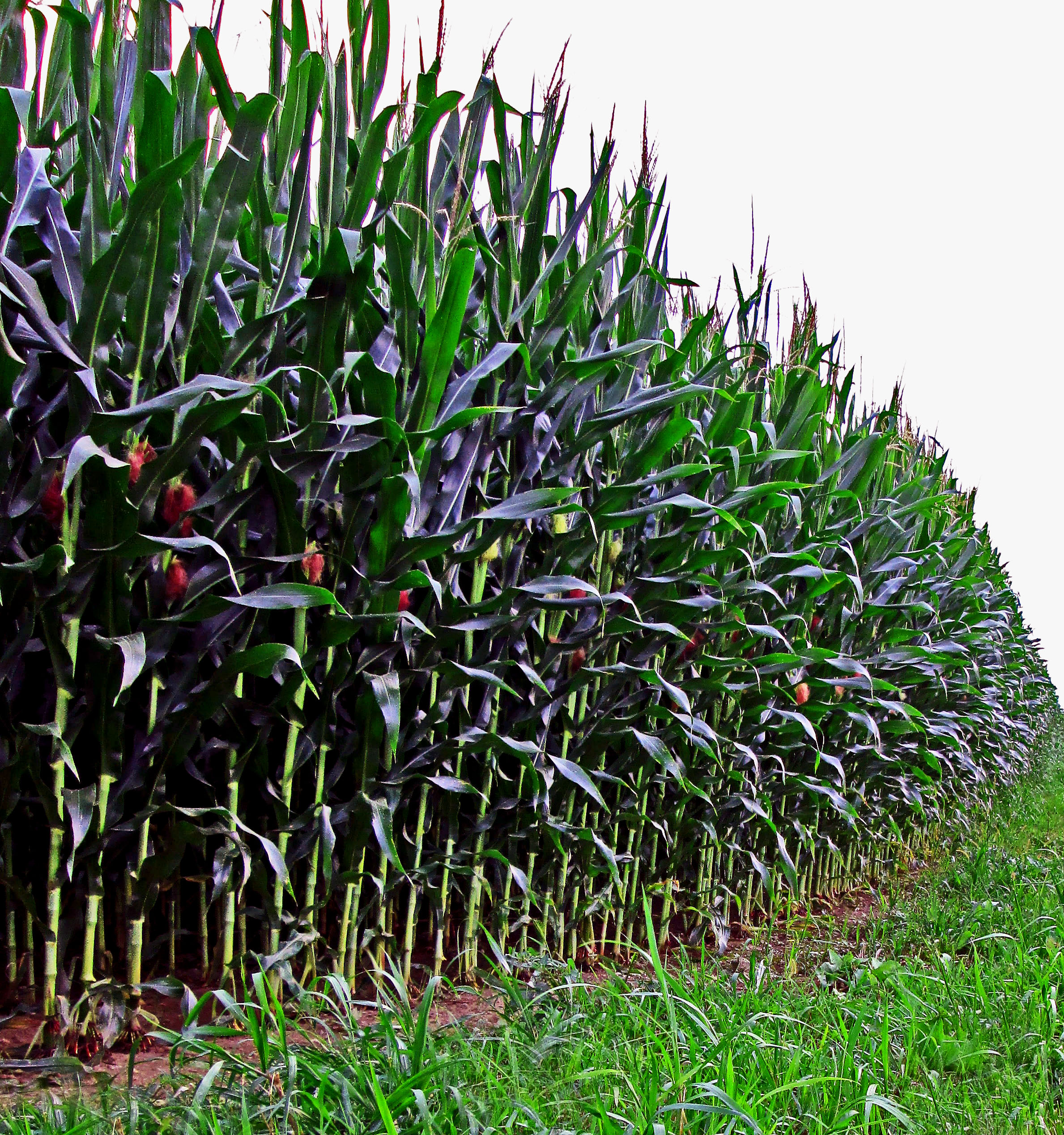 Stalks Of Corn