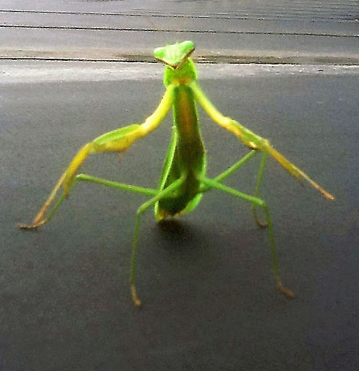 Praying Mantid Posing
