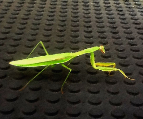 Roof Top Mantis