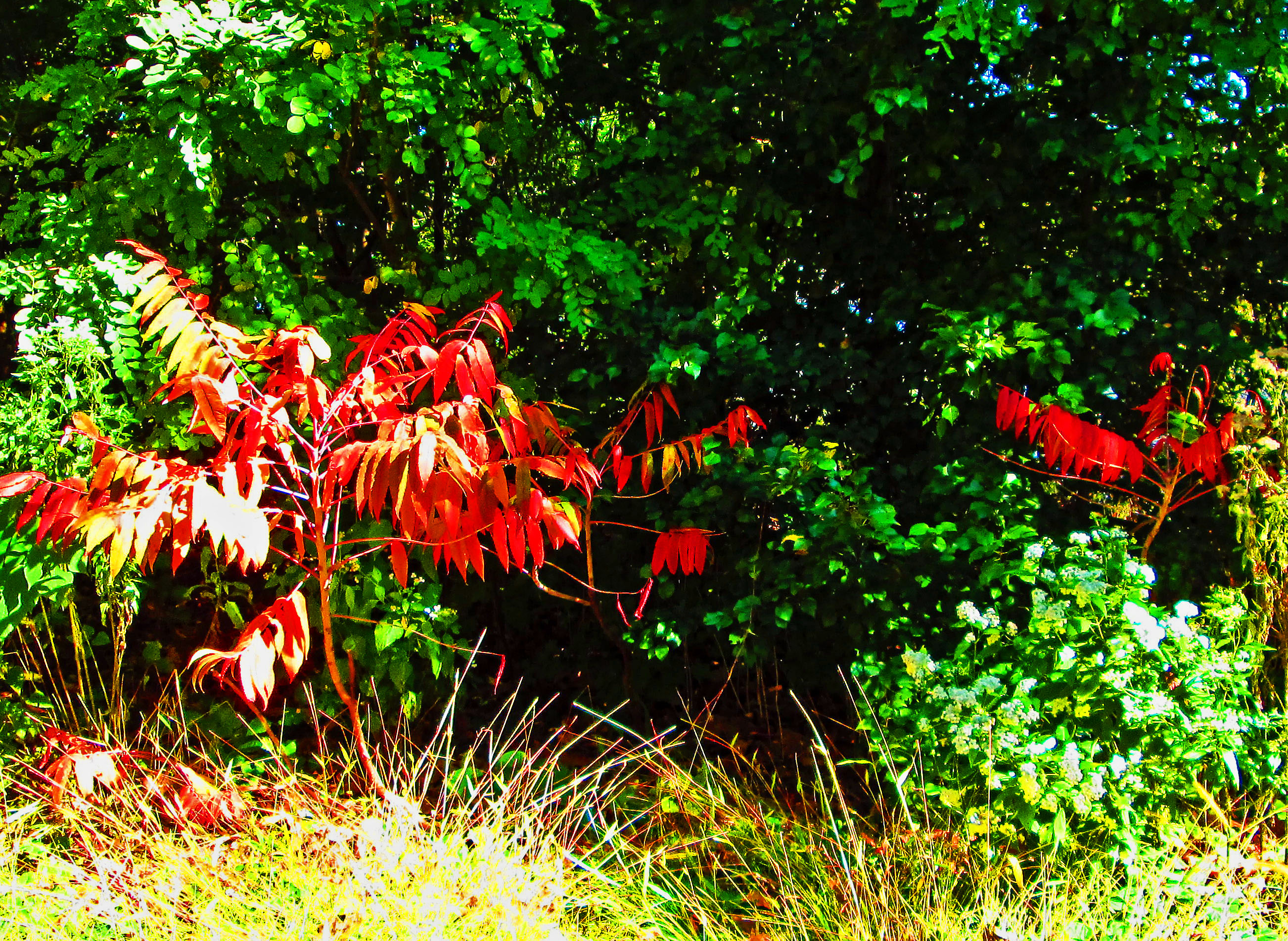 Young Red Oak Leaves