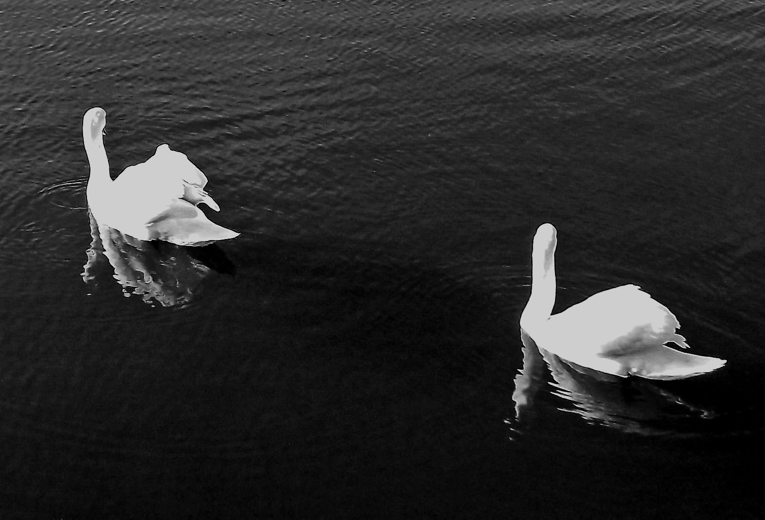 Black & White Swan Reflections