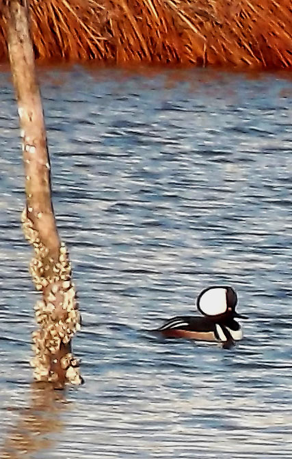 Hooded Male Merganser In Oceanport Creek NJ