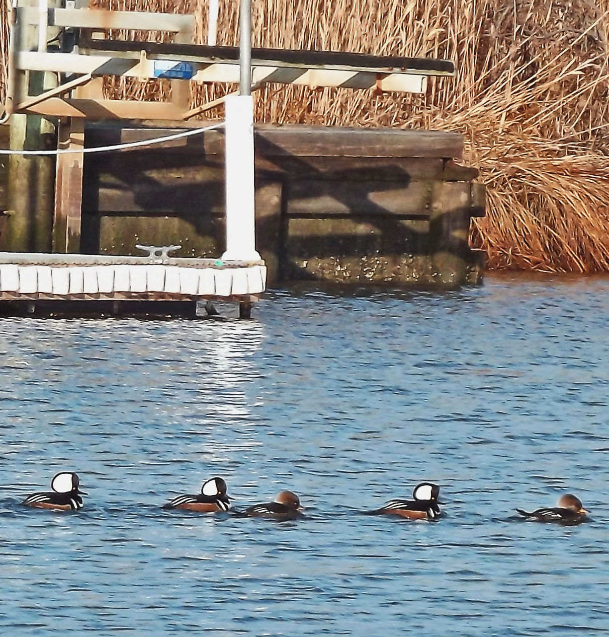 Merganser Coastal Ducks