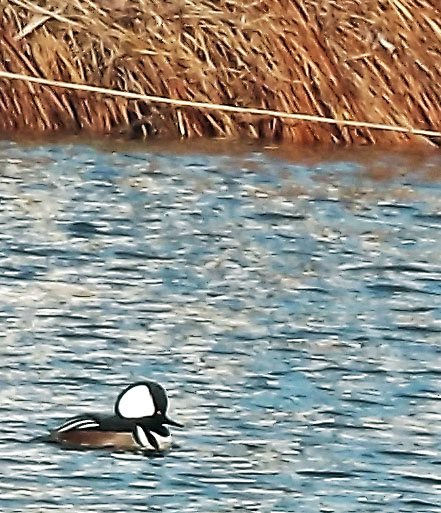 Merganser Duck In Oceanport Creek