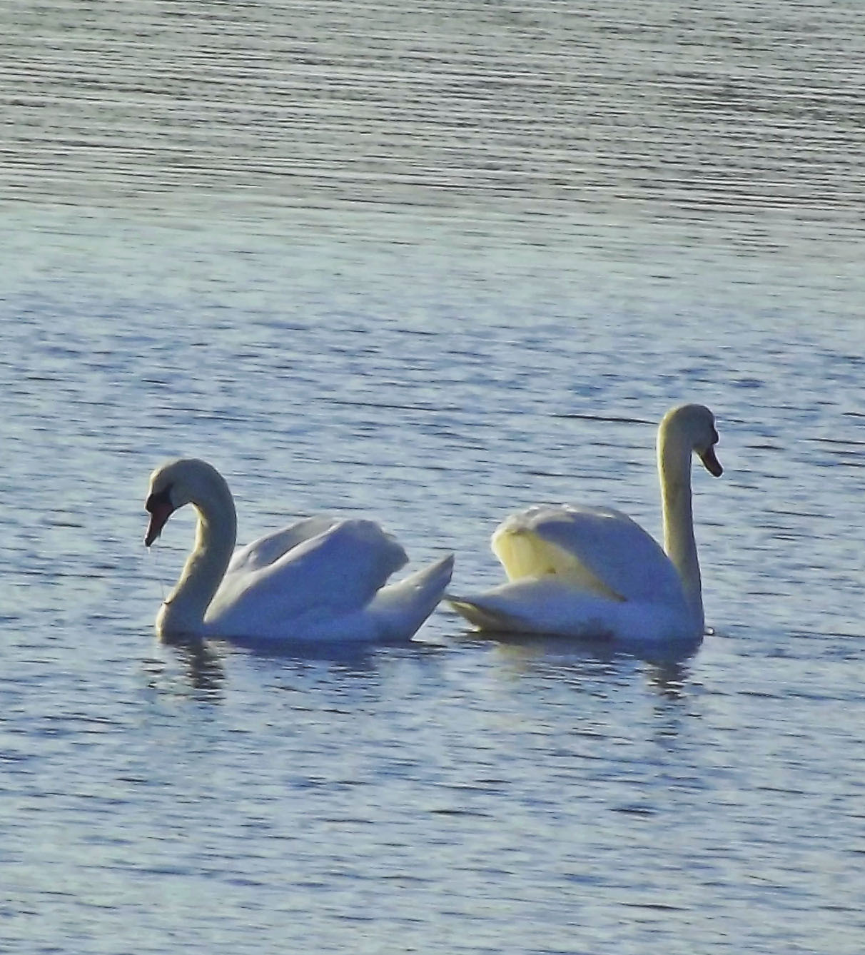 Mute Swans Posing With Puffed Wings