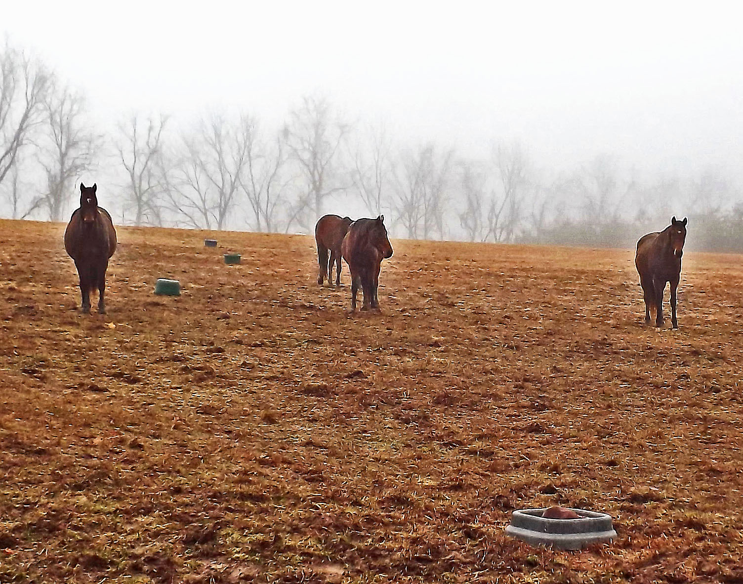 Older Horses Out Standing In Their Field On A Foggy Morning
