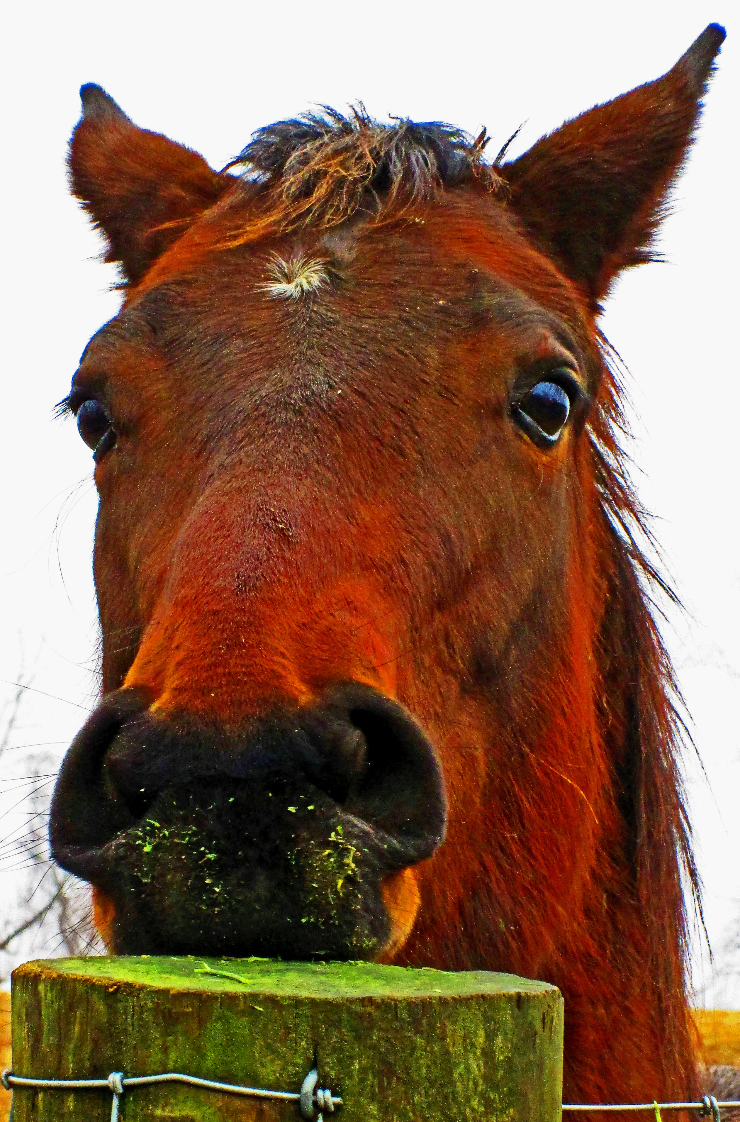 Red Munching On Fence Post